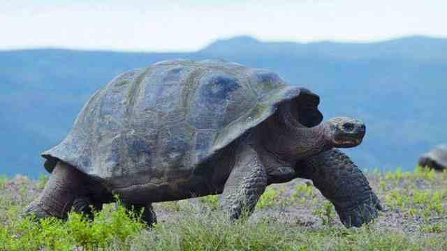 塞舌尔岛上的原始居民:象龟