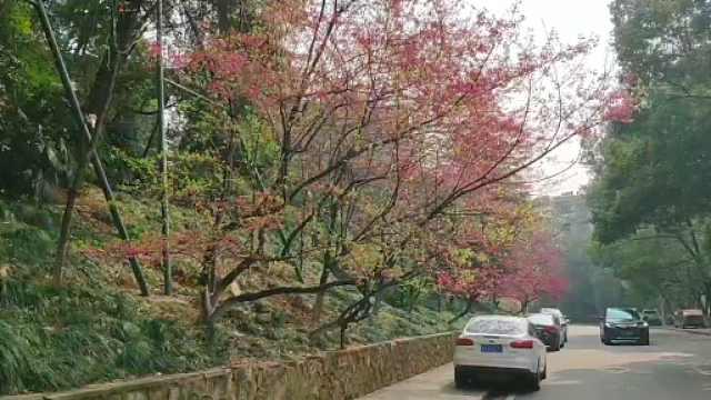 武汉大学早樱开了,鸟儿在枝头鸣叫
