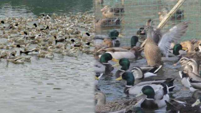 浙江10万鸭子将出征巴基斯坦灭蝗虫