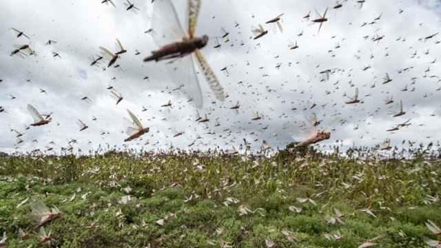 巴基斯坦蝗灾泛滥,严重破坏农作物