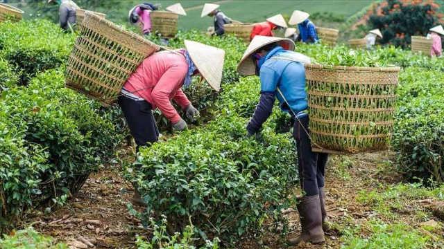 信阳奇缺采茶工,茶农很着急!