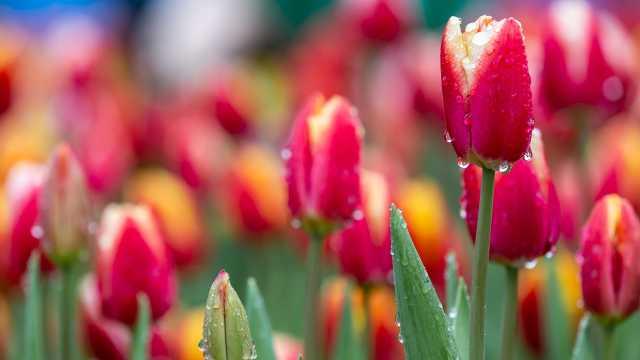 疫情重创花卉市场!荷兰单日销毁百万束鲜花