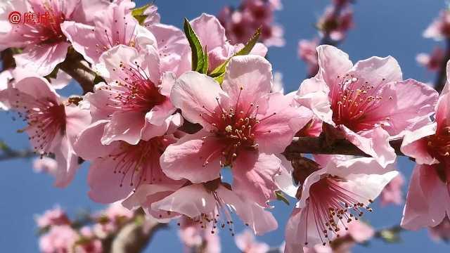 春风十里桃花香,叶县第三届桃花节等你来