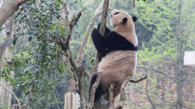 滚滚出来营业啦!成都熊猫基地恢复开放,每日限流5000人