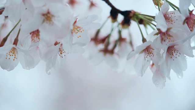南京都市圈最美花园:雨中浦口,樱花与艺术共舞
