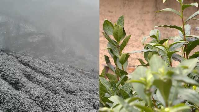 安徽歙县3万亩高山茶园遭遇倒春寒,有茶园减产2/3