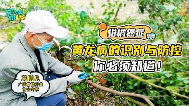柑橘黄龙病,如何识别及防治?走进柑橘园与老师一起学习