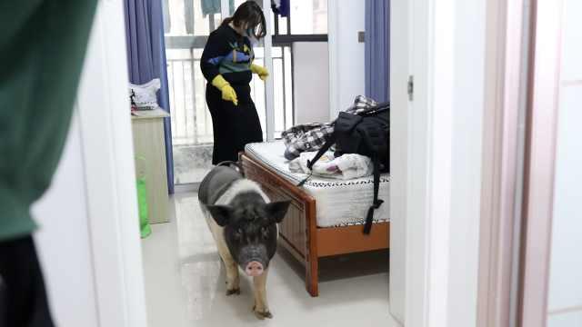 """武汉家庭史丨""""肚子饿没了!""""宠物猪留守武汉65天与主人重聚"""