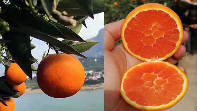 """一掐就飙汁的橙子没运出去!湖北果农邀请榨汁企业""""来试试"""""""