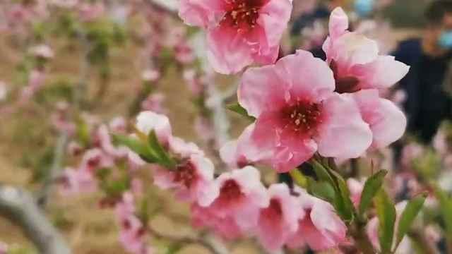 万亩桃花盛开,云上赏花开启!