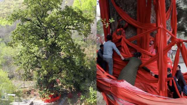 重庆千年铁杉王,10个人手拉手才能抱住,当地村民当神拜