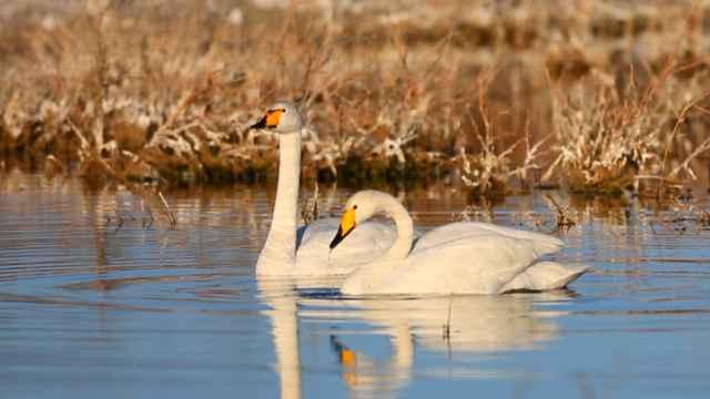 新疆阿勒泰市科克苏湿地的天鹅来了