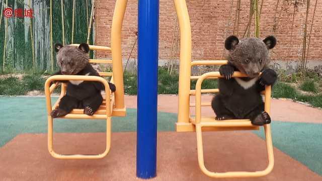 动物园新添两只小熊,憨态可掬惹人爱