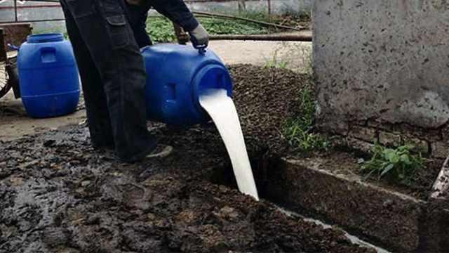 牛奶过剩,数十万加仑牛奶被倒下水道,为啥不能做慈善?
