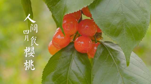人间四月食樱桃,没有人会不喜欢!我用3种封印把它锁在春天