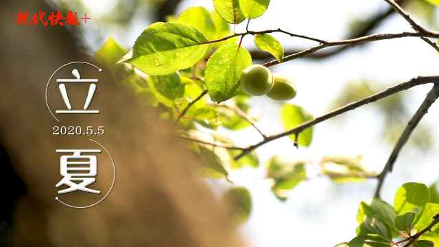 你看,青梅挂枝头!紫金山正向繁盛的夏天走去