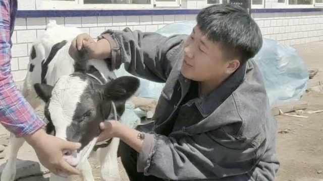 初生牛犊长三只耳引全村围观,配种员:干40多年第一次见
