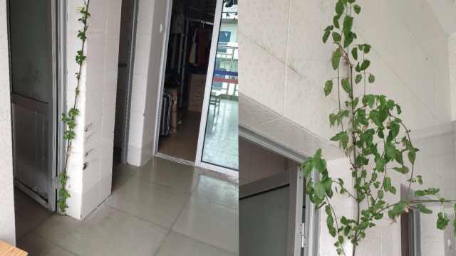 男生返校发现宿舍长2米高小树:扎根地缝,不打算铲掉