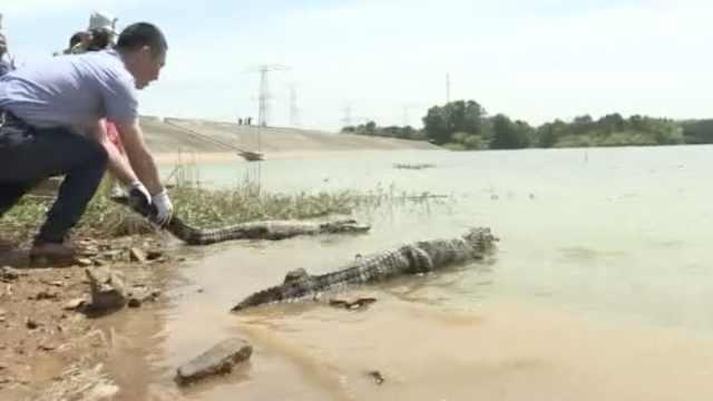 安徽放归280条人工繁育扬子鳄:野外现存200多条,十分濒危