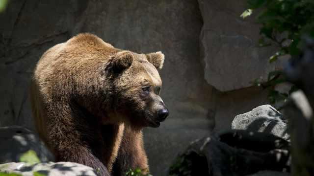 波兰男子解封后去动物园跟母熊水中搏斗,熊心理受伤一直咆哮