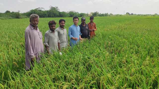中国小伙在巴基斯坦推广杂交水稻:常年气温40度,衣服结盐粒