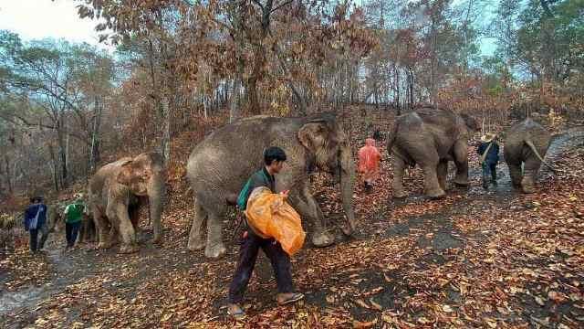 旅游业受重创,泰国千头大象因饥饿回乡,或转行干伐木工作
