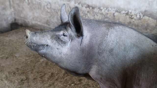 小伙辞百万高薪回乡养猪:想多陪家人,猪下崽