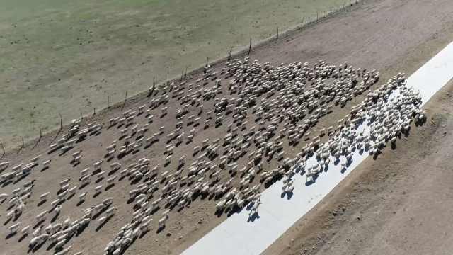 壮观!内蒙古近30万头牛羊迁徙至夏牧场,最远距离上百公里