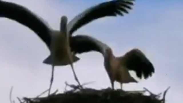 国家一级保护动物东方白鹳碰高压线坠落,爱鸟