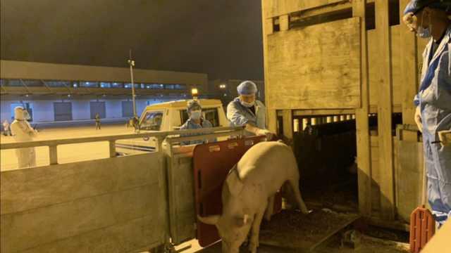 700头种猪漂洋过海落地江苏,多部门联动护航至隔离点