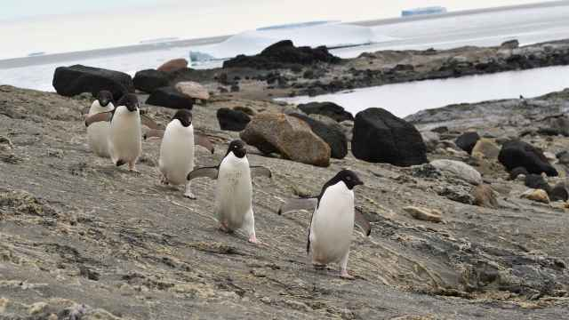 新研究:海冰减少,南极企鹅生活更快乐