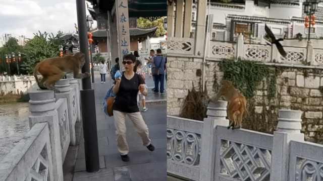 淡定猴哥闯广场,抢帽子恐吓路人,大黑鸟带同