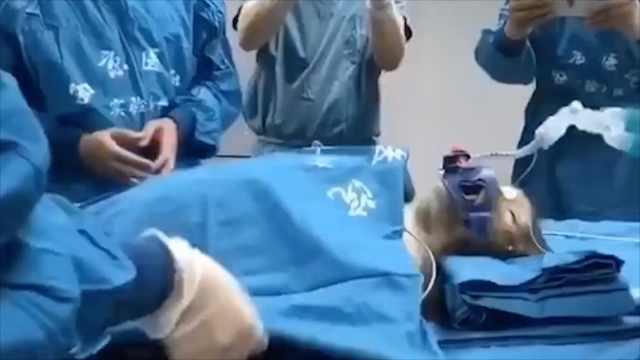 异种器官移植大突破,猪肝移植给猴子已存活16天