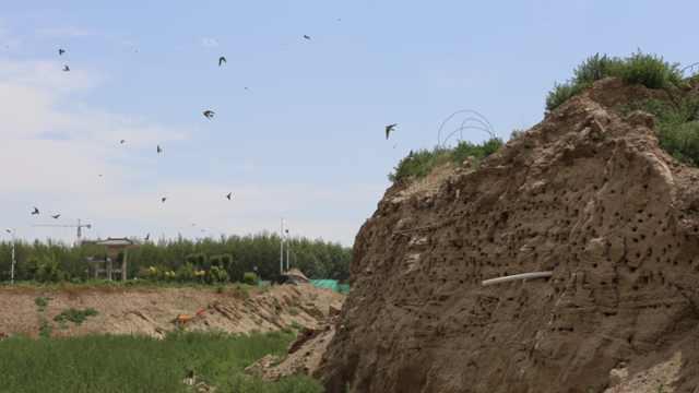 工地土崖千疮百孔竟是燕子窝!栖息上万只崖沙燕,绵延200米
