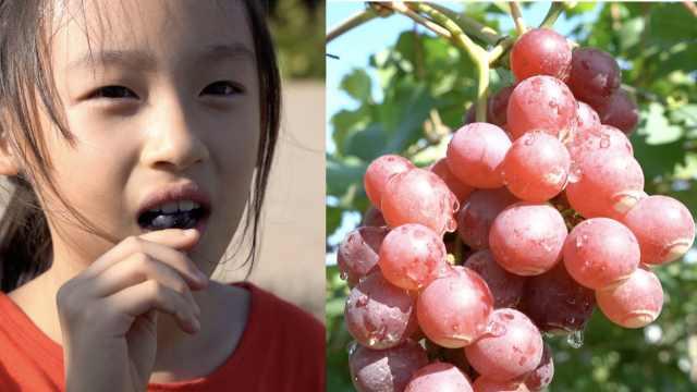 玫瑰香遇上巨峰,解锁葡萄新口味