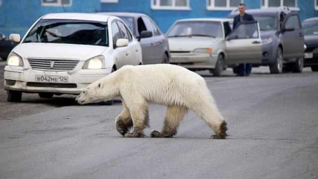 西伯利亚遇史上最热6月:野火肆虐致碳排放激增,北极熊进城
