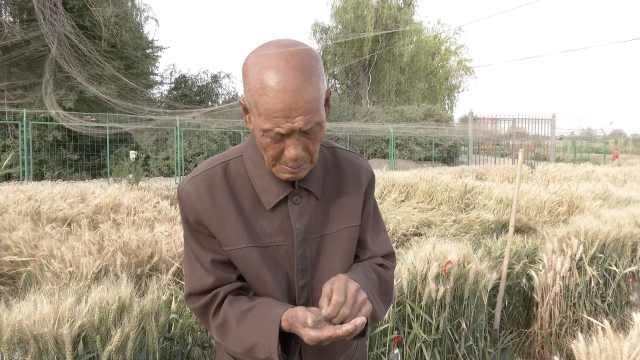 致敬!79岁科研人员坚守新疆田里研究杂交小麦:一呆21年