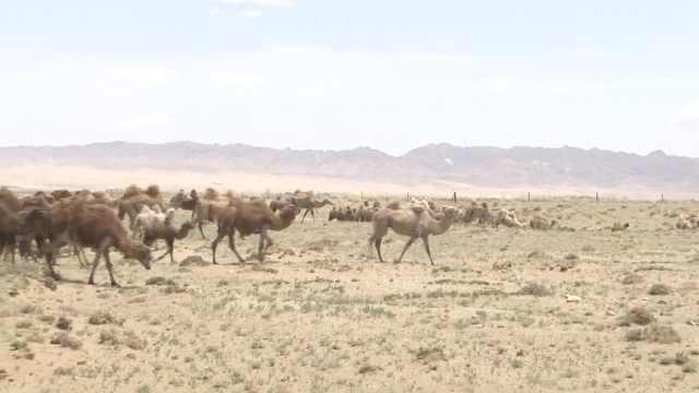 年迈骆驼被卖后独行百公里返家,主人:放养草场,不动它一根毛