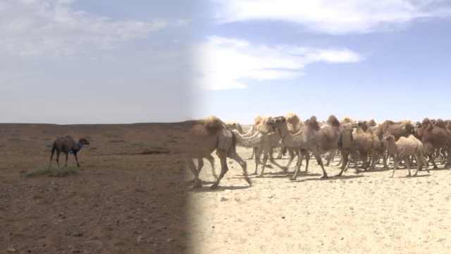 双峰驼协会会长回应年迈骆驼寻家:骆驼有家乡观念,方向能力强