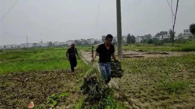 安徽王家坝下游村民抢收庄稼:与洪水赛跑,凌晨2点就下地