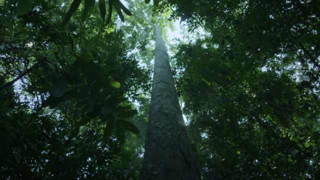"""课本上的景点  作者忆«望天树»创作,36米""""空中走廊""""实为科考"""