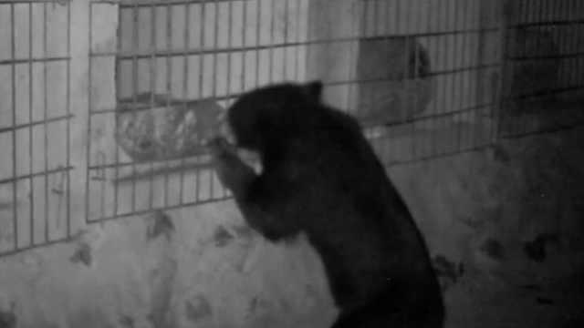 绵阳3岁黑熊进村秒变吃货,闯蜂场偷吃蜂蜜,作案现场被拍