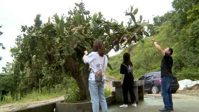 大爷20年前栽仙人掌成3米大树,每年结上千果实
