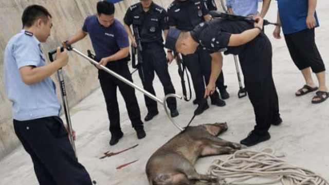 野猪越过2米高围墙闯进校园,特警百米外一枪击毙