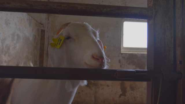 羊妈妈奶不够,他用牛奶喂宝宝:养羊十几年,就图个乐
