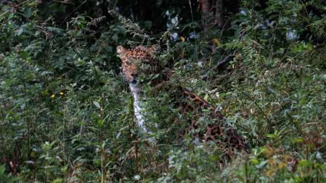 宁夏六盘山首次近距离拍到金钱豹,与护林员相距10米对视1分钟