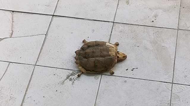 武汉一大学生返校后乌龟变标本:对不起兄弟,我来迟了!