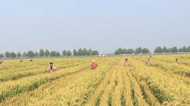 这个活必须人工干!农场镰刀去杂保稻种纯度: