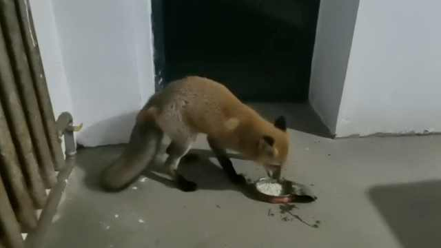受伤赤狐每晚准时进执勤点蹭饭:一个月后伤势好转还胖了一圈