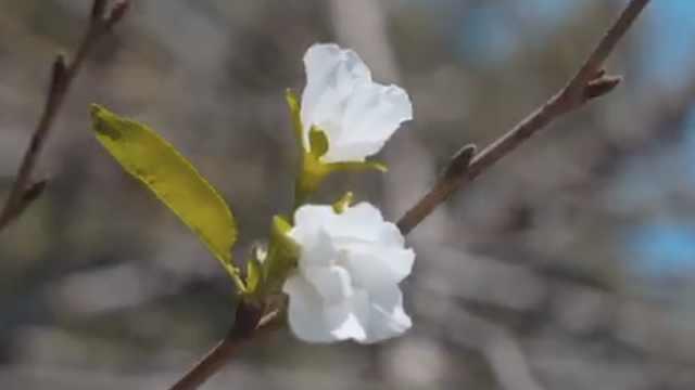 专家详解南京鸡鸣寺春樱秋季绽放:气候小阳春,给花产生错觉